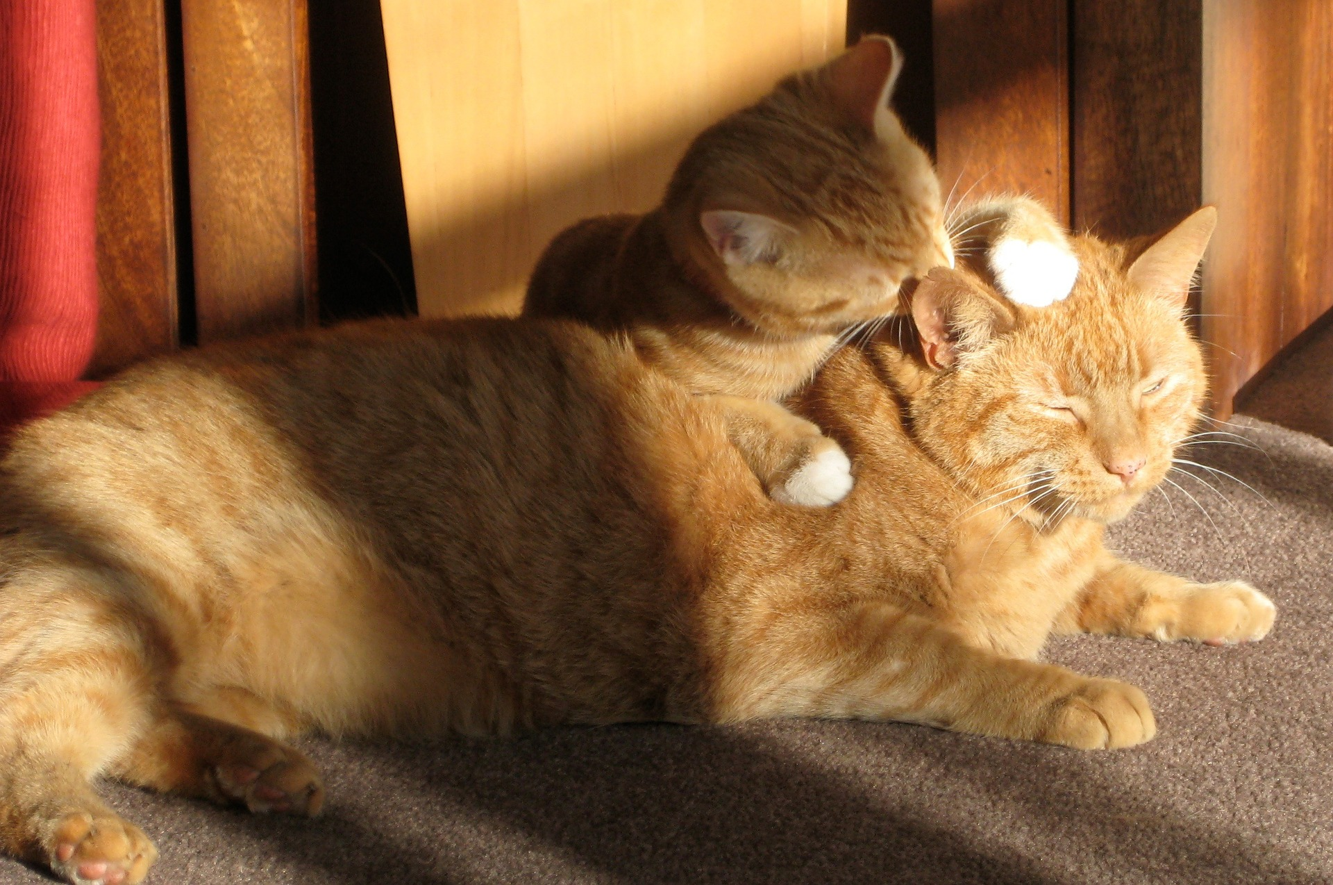 two-ginger-cats-650546_1920
