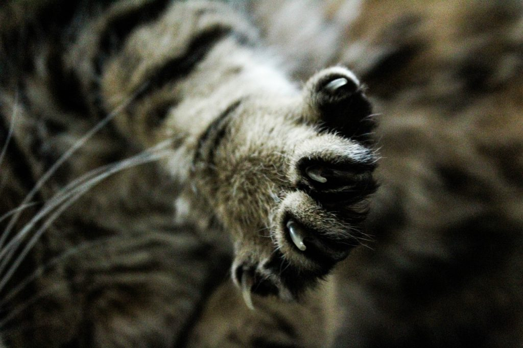 gatto declawing