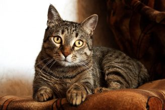 adult-brown-tabby-cat-747795