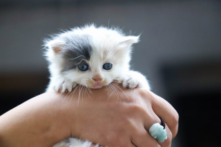 close-up-photo-of-person-holding-white-kitten-1444321 (1)